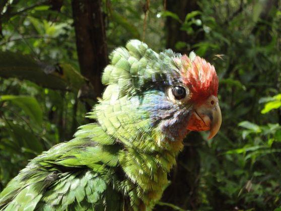 Amazona brasiliensis, filhote.